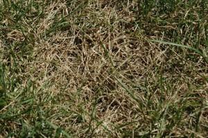 Gazon pelouse jaune canicule dormance